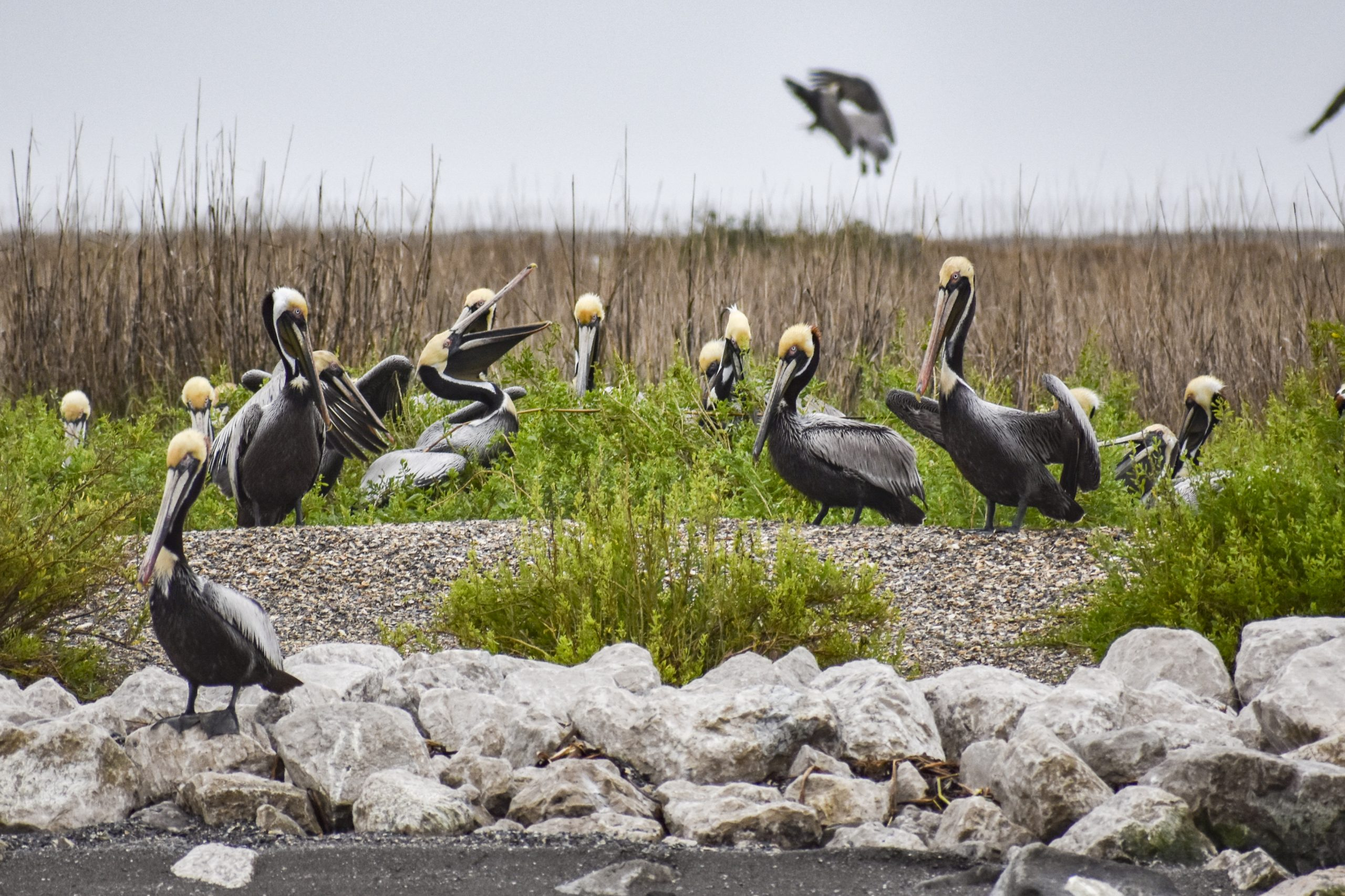 In Louisiana Brown Pelicans Emerge As A Sign Of Hope Recovery And Resilience Growing Returns